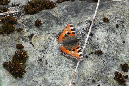 Schmetterling in Sent.jpg