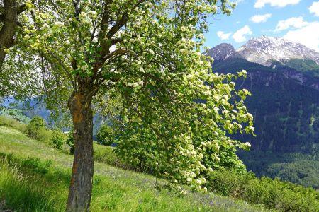 Baum im Blütenkleid.jpg