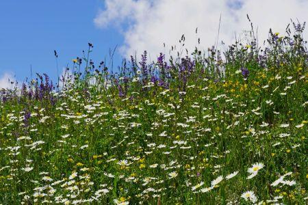 Blumenwiese1_Sent.jpg