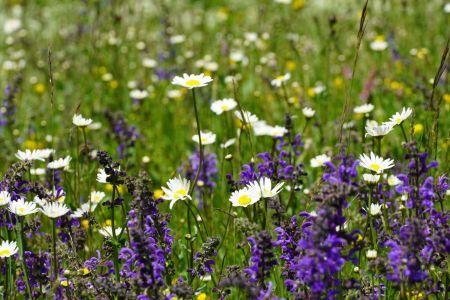 Blumenwiese6_Sent.jpg